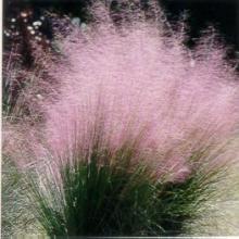 Muhlly Grass