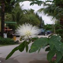 Powderpuff White