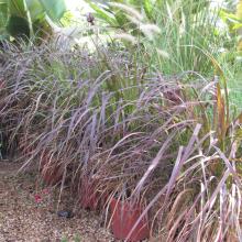 Fountain Grass Purple