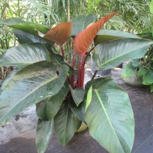 Philodendron Congo Red