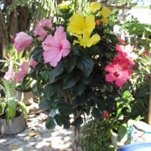 Hibiscus Tri-Color