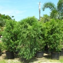 Podocarpus Weeping