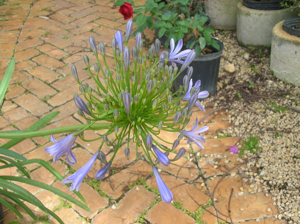 Agapanthus Bloom