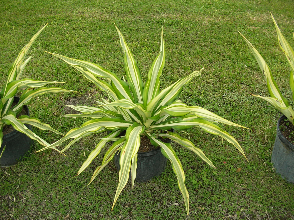 Agave-False-Variegated