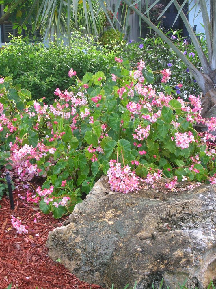 Begonia Pink Odorata
