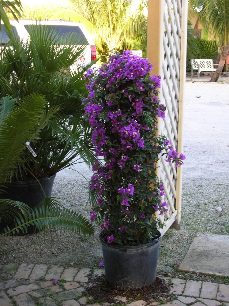 Trellis Purple