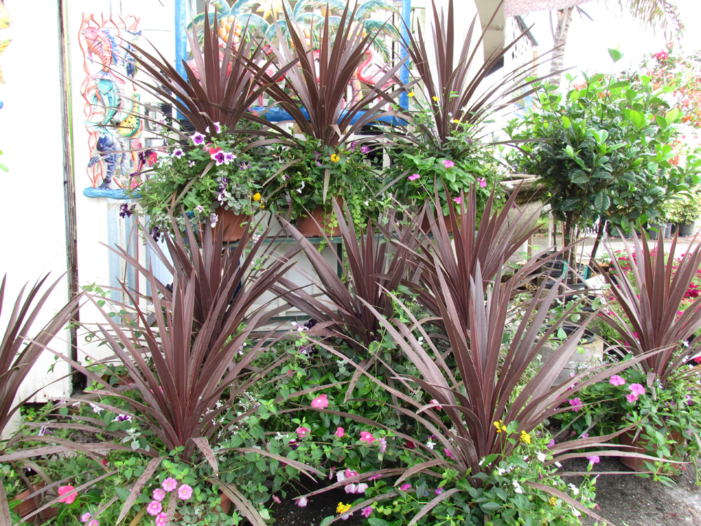 Cordyline Star