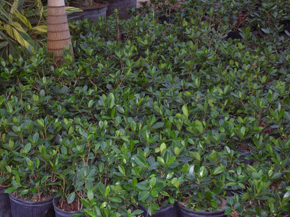Ficus Green Island