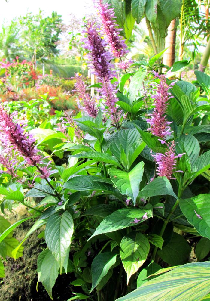 Firespike purple