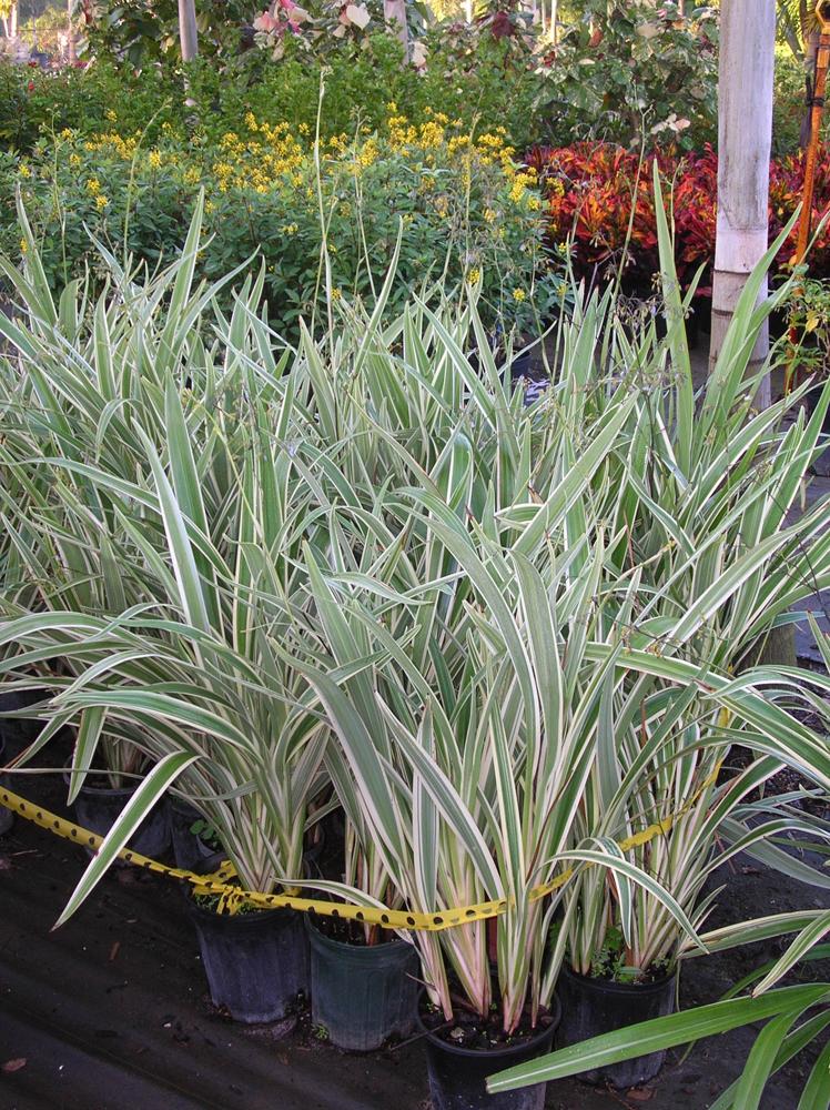 Flax Grass