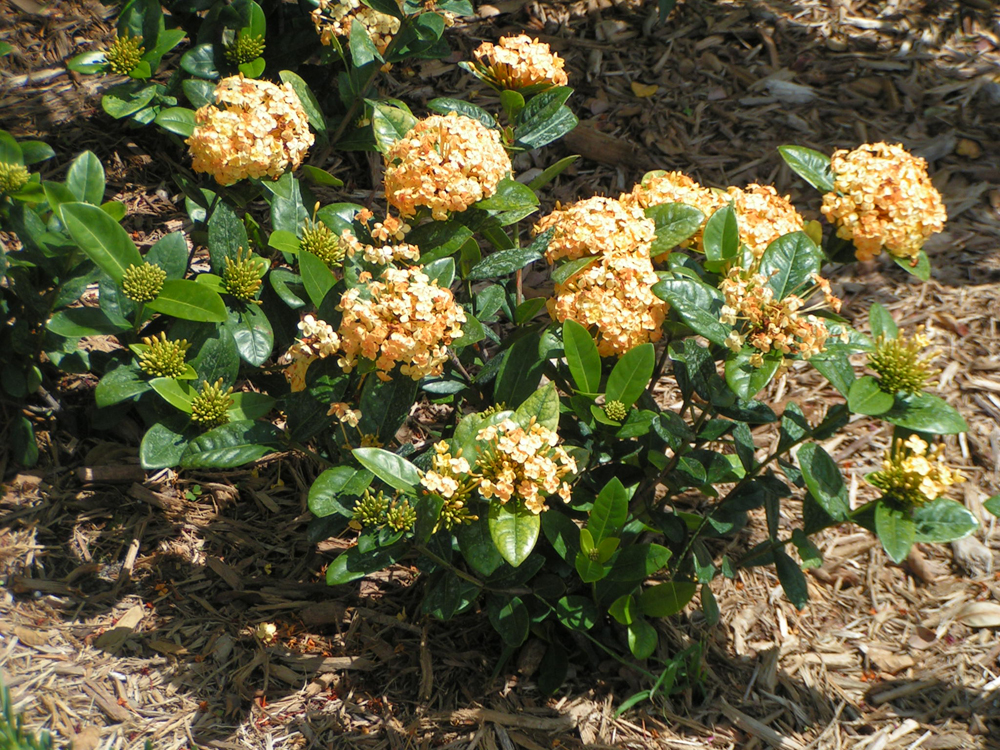 Ixora Florida Sunshine