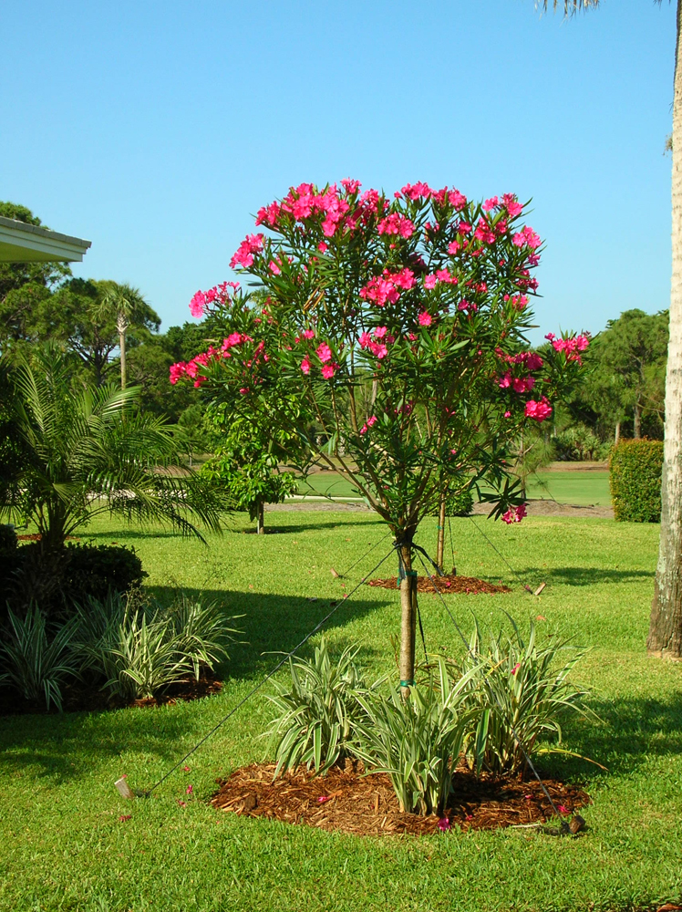 Oleander Calypso