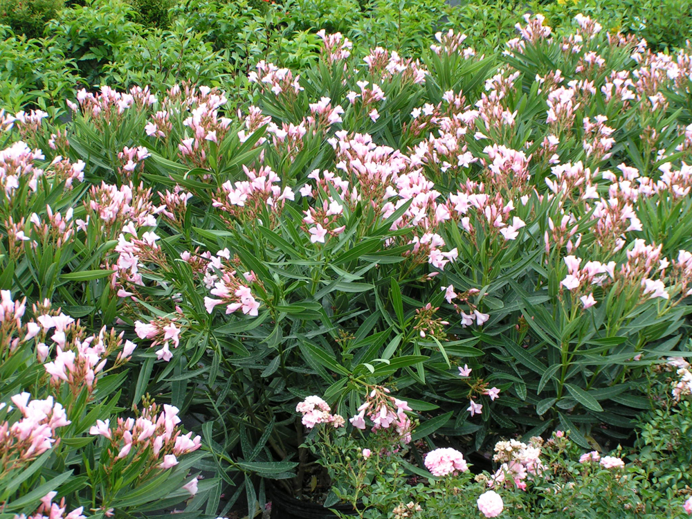 Oleander Ice Pink