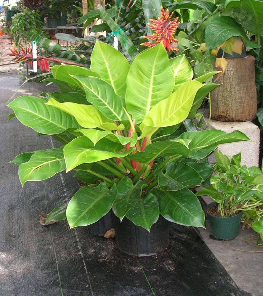 Philodendron Congo Moonlight