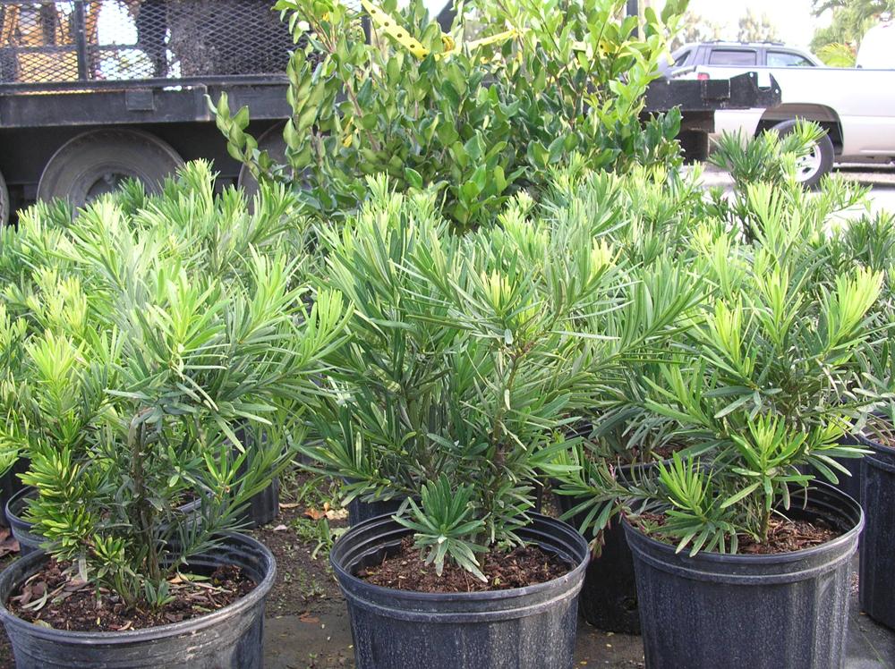 Podocarpus Pringles