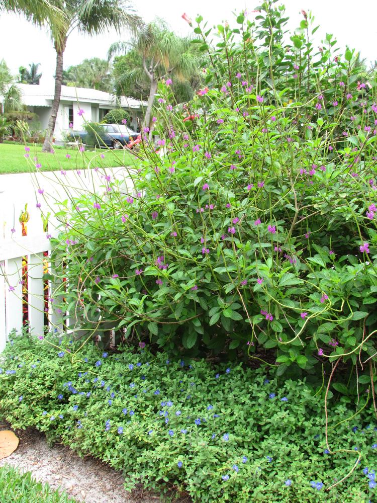 Porterweed Purple