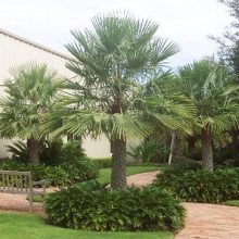 Caranday Palm