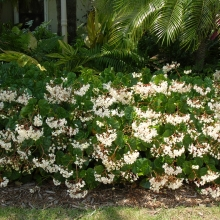 Begonia Odorata Alba