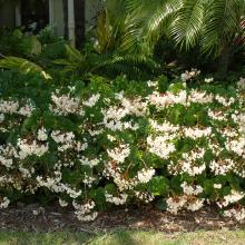 Begonia Alba