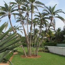 Reclinata Palm