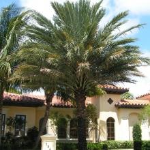 Medjool Palm