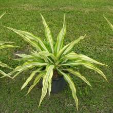 Agave False Variegated