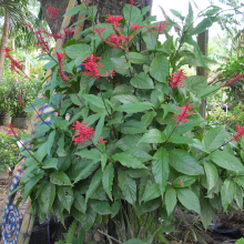 Firespike red