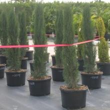 Cypress Italian
