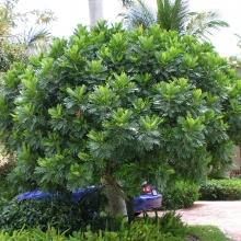 Japanese Fern Tree
