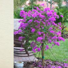 Standard Palm Beach Purple