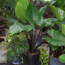 Alocasia Black Stem